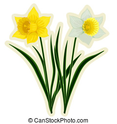 Yellow and white daffodils isolated