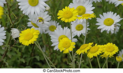 Yellow and white daisies waving on the breeze of the wind in...