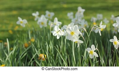 Yellow and white Narcissus Flowers