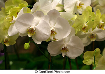 Yellow and white orchids