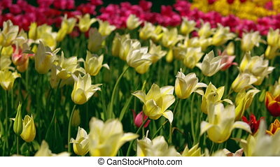 Yellow and white star tulips blossoming