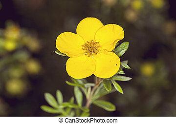 yellow anemone flower in nature