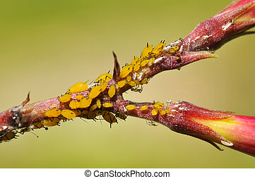 Yellow aphids - Macro of yellow aphid (Aphis nerii) on...