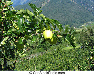 Yellow apples on tree branches