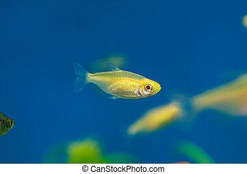 Yellow aquarium fish