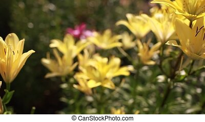 Yellow asiatic hybrid lilies. Bouquet of fresh flowers...