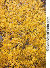 Yellow aspen foliage at autumn