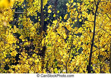 Yellow Aspen Foliage