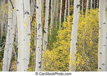 yellow aspen in autumn