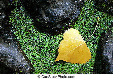 Yellow Aspen Leaf, Moss