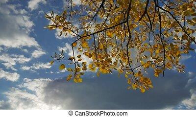 Yellow aspen sunlight leaves against the blue sky forest...