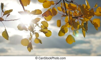 Yellow aspen sunlight leaves against the blue sky...