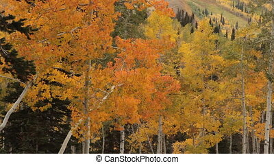 yellow aspens  blow in breeze