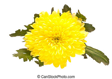Yellow Aster - Shot of a yellow aster isolated on white ...