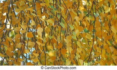 Yellow autumn birch leaves