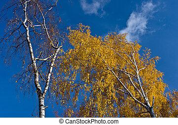 Yellow autumn birch on blue sky background