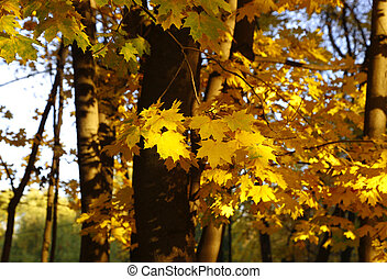 Yellow autumn branches of maple trees