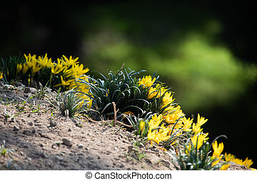 Yellow autumn crocus flowers on the Areopagus hill. The ...