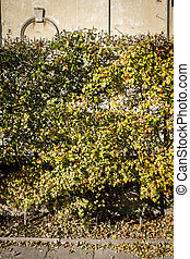 Yellow autumn hedge by the road