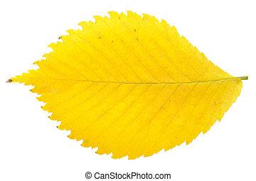 Yellow autumn leaf isolated on white background