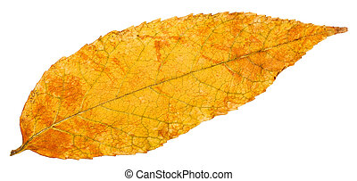 yellow autumn leaf of ash tree isolated - yellow autumn leaf...