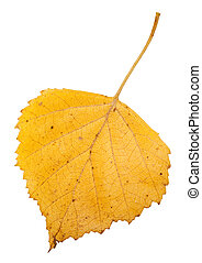 yellow autumn leaf of birch tree isolated