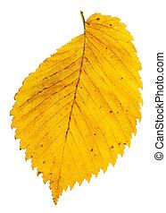 yellow autumn leaf of elm tree isolated on white