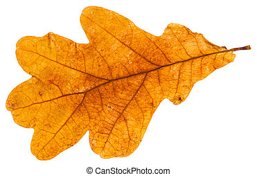 yellow autumn leaf of oak tree isolated