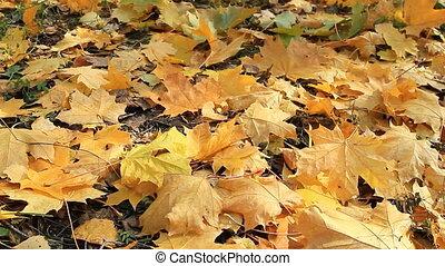 Yellow Autumn Leafs