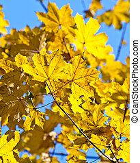 Yellow autumn leaves against  blue sky background