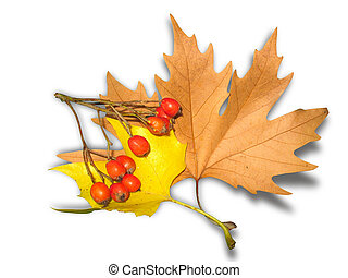 yellow autumn leaves and berrys with shadow isolated over white background
