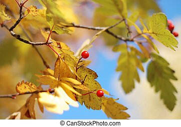 Yellow autumn leaves and mountain ash