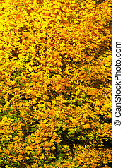 Yellow autumn leaves, fall branches