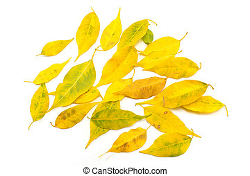 Yellow autumn leaves isolated on white