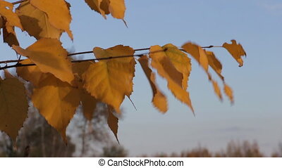 Yellow autumn leaves of birch