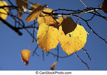 Yellow autumn leaves of the linden tree