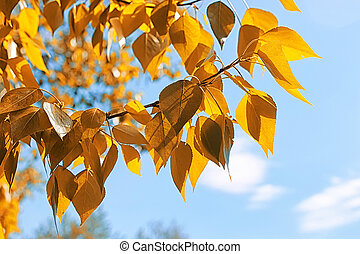 Yellow autumn leaves of trees on clear blue sky