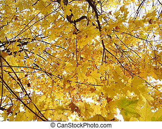 Yellow Autumn Leaves on a Tree