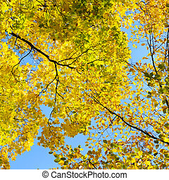 yellow autumn leaves on background blue sky