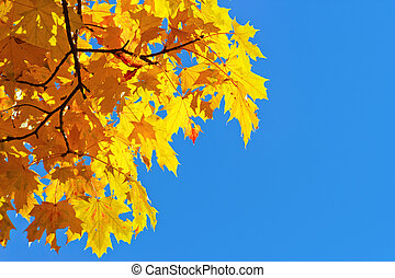 yellow autumn leaves on blue sky