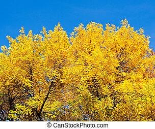 yellow autumn leaves on the trees