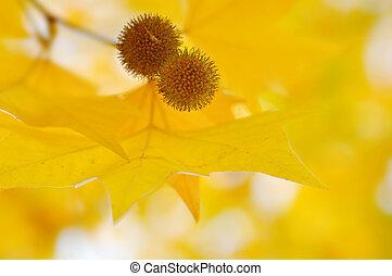 yellow autumn leaves