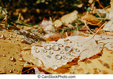 Yellow autumn leaves with drops of morning dew. Bright sunlight, close-up. Selective focus. Space for text.