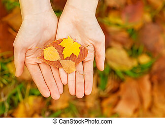 Yellow autumn maple leaves in hands