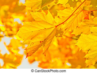 Yellow autumn maple leaves in sunlight