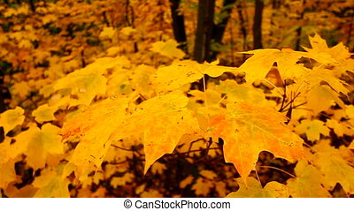 Yellow Autumn Maple Leaves - Yellow maple leaves flutter in...
