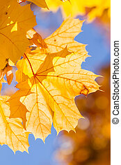 Yellow autumn maple leaves