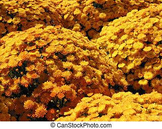 Yellow autumn mums