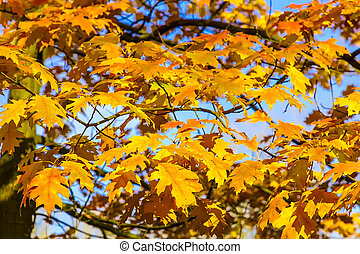 Yellow Autumn Oak Leaves and Branches