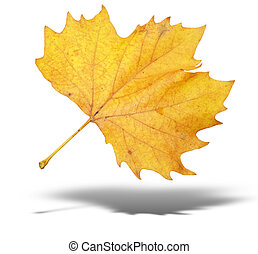 yellow autumn tree leave with shadow isolated over white...